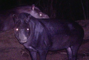 A night-time image from a camera trap of the new tapir (from Cozzuol et al., 2013)