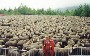 Daniel Loxton with 200 sheep in night corral