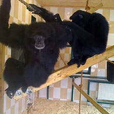 Two Gibbons on Noah's Ark, bearing no resemblance whatsoever to humans.