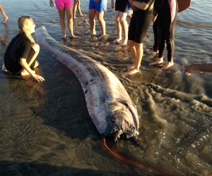 The 14-foot oarfish found on the beach near Oceanside on Oct. 18, 2013