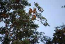 Troupe of Proboscis monkeys
