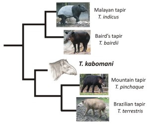 The evolutionary relationships of the five living species of tapir